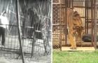 Na jaren in een kooi te hebben doorgebracht, komt deze tijger voor de eerste keer in aanraking met gras: zijn reactie is ontroerend!