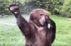 A bear discovers a water sprinkler --- what follows are happy moments!