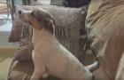 Le chien regarde un film d'horreur... Quand la scène la plus effrayante arrive, ne manquez pas sa réaction !