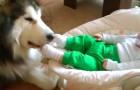 Un Alaskan Malamute e il suo cucciolo d'uomo: la loro interazione ve ne farà innamorare