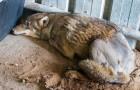 Un loup d'Arabie est renversé et laissé pour mort, mais son heure n'était pas encore arrivée