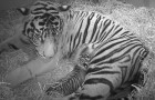 A rare Sumatran tiger gives birth . . . But the surprises are not over!
