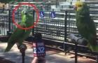 Een journaliste interviewt twee papegaaien: het resultaat is verbazingwekkend