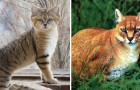 L'impareggiabile bellezza dei felini: ecco alcuni tra i gatti selvatici più rari e sconosciuti al mondo