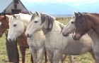 Des chevaux s'approchent de la clôture. La raison ? Cela vous fera sourire !