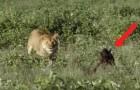 En lejoninnan fångar en nyfödd gnu, men det som händer just efter är inte som ni tror ...