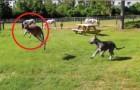 Een hond en een kangoeroe zijn samen aan het spelen: het is soms maar lastig te zien wie de hond en wie de kangoeroe is!
