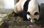 Mama panda baart een tweeling een paar seconden na elkaar