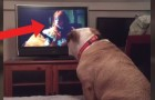 A bulldog is watching a TV horror movie --- His reaction is amazing!