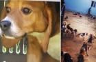 156 beagle salvati dai laboratori vedono il sole per la prima volta: il momento è toccante