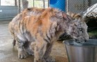 An inspiring story --- A young female Bengali tiger gets a new lease on life!