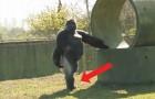 Tutto il mondo sta osservando questo gorilla. Il motivo? Guardatelo mentre cammina...