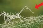 Leçon de camouflage: voici l'insecte qui, en présence du lichen... disparaît!