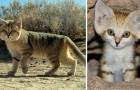 Na 10 Jaar Is Deze Wilde Kat Weer Voor Het Eerst Gezien