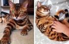 Merveilles de la nature : ce chat Bengal est si parfait qu'il semble irréel