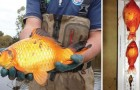 Goldfische sind schädlich für die Umwelt: Du solltest sie niemals in die freie Wildbahn entlassen