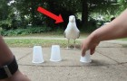 Playing the three-cup shell game with a seagull?! Say what?!