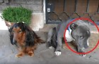 Een van hen heeft aan een schoen gevreten: de reactie van deze twee honden tijdens hun ondervraging is AANDOENLIJK!