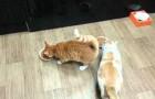 Un gatto davvero prepotente