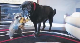 De wasbeer en de hond liggen met elkaar in de clinch om een knuffelbeer: is dit niet het schattigste 'gevecht' ooit!
