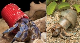 Prachtige (en enge) foto's van heremietkreeften die leven in zwerfafval