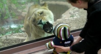 A hungry lioness meets a child at the zoo! . . .