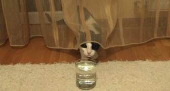 Kat vs. glas water: dit 'duel' zal je in lachen doen uitbarsten