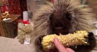 Das sprechende Stachelschwein und sein Maiskolben