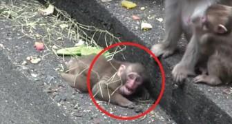 Questo piccolo di scimmia ha perso la sua mamma: quando la ritrova il suo sollievo è ENORME