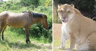 15 esempi di animali ibridi che stenterete a credere esistano davvero