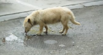 Ze troffen haar aan terwijl ze van een regenplas aan het drinken was: Zuzi laat zich niet makkelijk redden