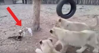 Drie leeuwen naderen een Jack Russel. De reactie van het hondje? Wooow!