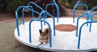 Le Corgi attend avec impatience sur le carrousel: quand la maîtresse le fait tourner, il s'amuse COMME CA!