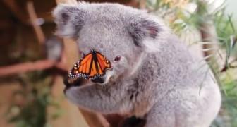 Una farfalla si posa sul muso del koala e rende il servizio fotografico una meraviglia!