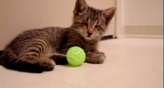 The blind cat playing the first game