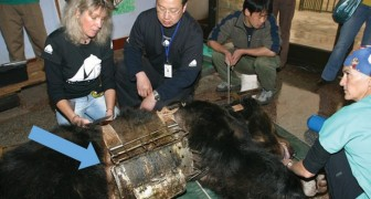Un ours vit pendant des années piégé dans une ceinture métallique: voici ses premiers pas sur l'herbe