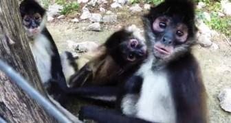 3 scimmiette sono intente ad una lotta giocosa, ma arriva qualcos'altro ad attrarre la loro attenzione...