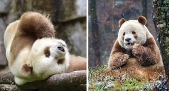 È forse l'unico panda marrone esistente al mondo: scopritelo in tutta la sua simpatia