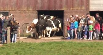 Queste mucche vedono finalmente il cielo dopo 6 mesi: guardate come reagiscono