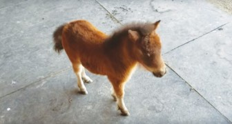 Een baby miniatuurpaard begint zijn eigenaar te achtervolgen, wat schattige beelden oplevert!