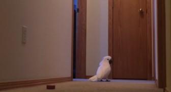 Questo pappagallo sembra aver smarrito qualcosa: il modo in cui gira per casa è PREOCCUPANTE!