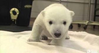 Los primeros pasos de un oso polar