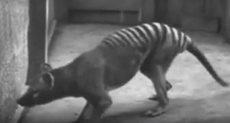 Animaux disparus : voici les rares images d'espèces qu'on ne verra plus jamais en vrai