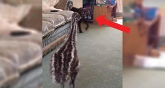 Een hond maakt kennis met een emoe: wat er dan gebeurt, is ongelooflijk!