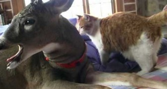Deer and Cat: a strange but beautiful friendship