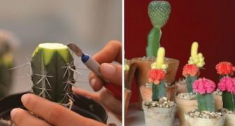 Aman las plantas grasas? Asi es como se hace en casa un injerto y obtener optimos resultados!