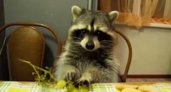 Vedere (e sentire) questo orsetto lavatore mangiare l'uva vi farà sorridere!