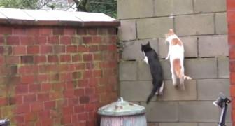 Slancio, scalata e atterraggio: la sincronia di questi due gatti sembra voluta!