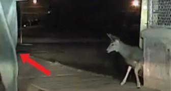 Ze ontdekken een hert dat vastzit in een hek: de politieagent gebruikt een allesbeslissende techniek om het dier te kunnen bevrijden!
