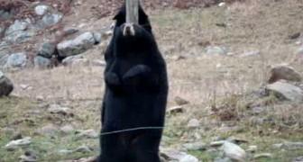 Même les ours dansent la Pole Dance